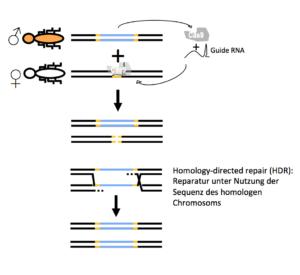 Der Mechanismus eines Gene Drives auf der Basis von CRISPR-Cas