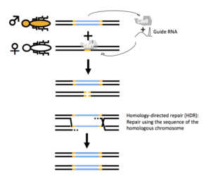Gene drive mechanism based on CRISPR-Cas.