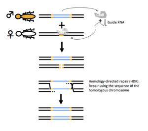 Gene drive mechanism based on CRISPR-Cas.