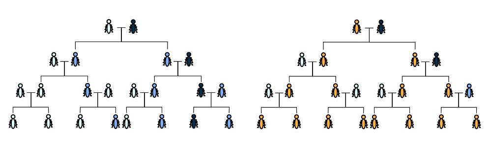 Normaler Erbgang (links) und Gene Drive Erbgang (rechts)