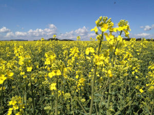 Rps – Brassica napus | Foto: C. Radig-Willy